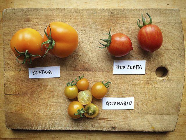 tomaattilajikkeet